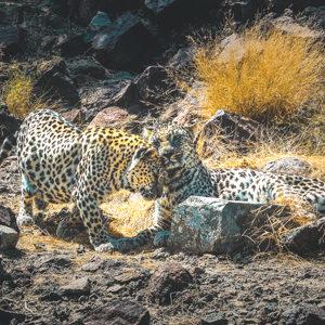 Arabian leopard1